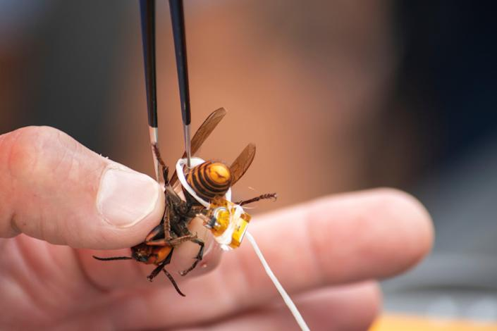 Scientists used dental floss to tie radio trackers to the hornets (AP)