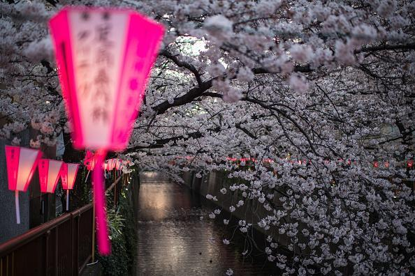 A lantern sways in a breeze as cherry blossom hangs over the Meguro River in Nakameguro on March 26, 2018 in Tokyo, Japan. The blossom is deeply symbolic, it only lasts for around one week and marks the beginning of spring. (Photo by Carl Court/Getty Images)