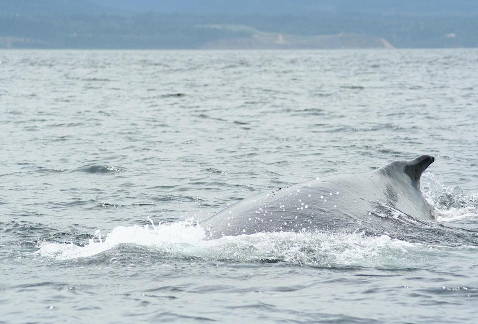 <p>As we sat in our small speedboat watching these beautiful creatures from afar, suddenly there was a loud 'blowhole' noise as a humpback — very close to our boat! — came up for air. Only ten feet away from us, this moment will forever be etched into my mind. Sheer joy. The photos speak for themselves. </p>