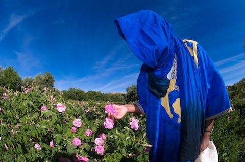 A woman picking roses in the Dades Valley - Credit: This content is subject to copyright./GIUGLIO Gil