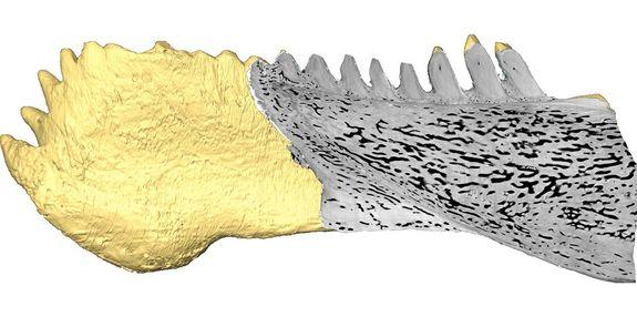 An X-ray technique revealed high-resolution 3-D images of the teeth of the placoderm <em>Compagopiscis</em>.