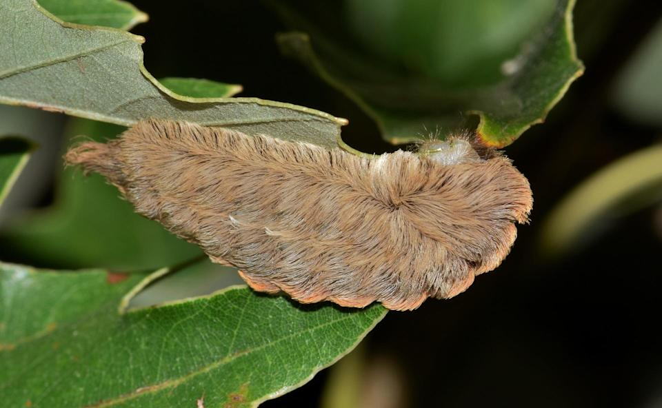 A 5-year-old Texan was sent to hospital after being stung by a (pictured) Southern Flannel Moth Caterpillar<em> (Photo via Pixabay)</em>