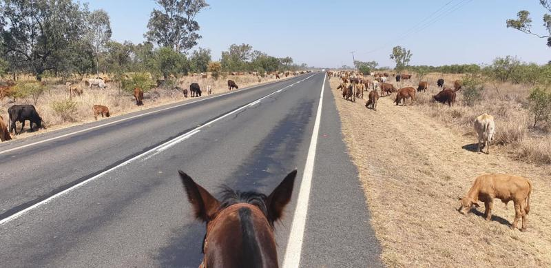 Cows can be seen on either side of a long road in a photo taken from the saddle.