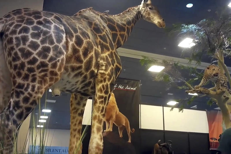 This image from video provided by the Humane Society of the United States shows taxidermy at the Safari Club International's 2020 annual convention, that was held Feb. 5-8, 2020, in Reno, Nevada. An undercover video recorded by animal welfare activists shows vendors at a recent trophy-hunting convention promoting trips to shoot captive-bred lions in Africa, despite past public assurances by the event's organizers that so-called canned hunts wouldn't be sold.  (Humane Society of the United States via AP)