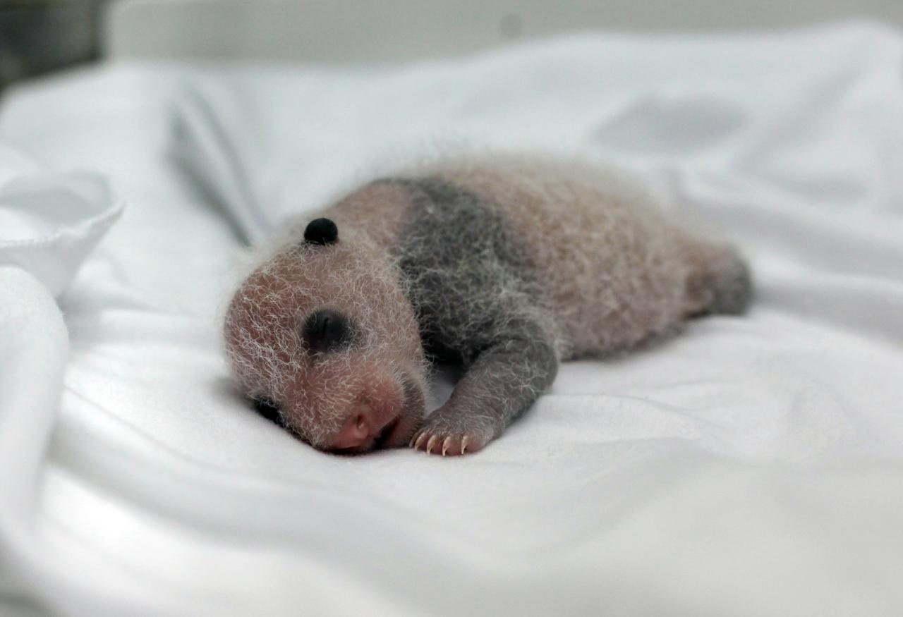 A newborn giant panda cub, one of the triplets which were born to giant panda Juxiao (not pictured), is seen inside an incubator at the Chimelong Safari Park in Guangzhou, Guangdong province August 12, 2014. According to local media, this is the fourth set of giant panda triplets born with the help of artificial insemination procedures in China, and the birth is seen as a miracle due to the low reproduction rate of giant pandas. REUTERS/Alex Lee (CHINA - Tags: ANIMALS SOCIETY)