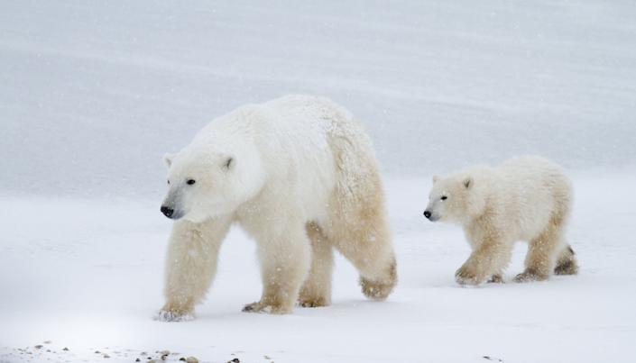 a polar bear mom and cub walking across the edge of the sea ice in Churchill, Canada