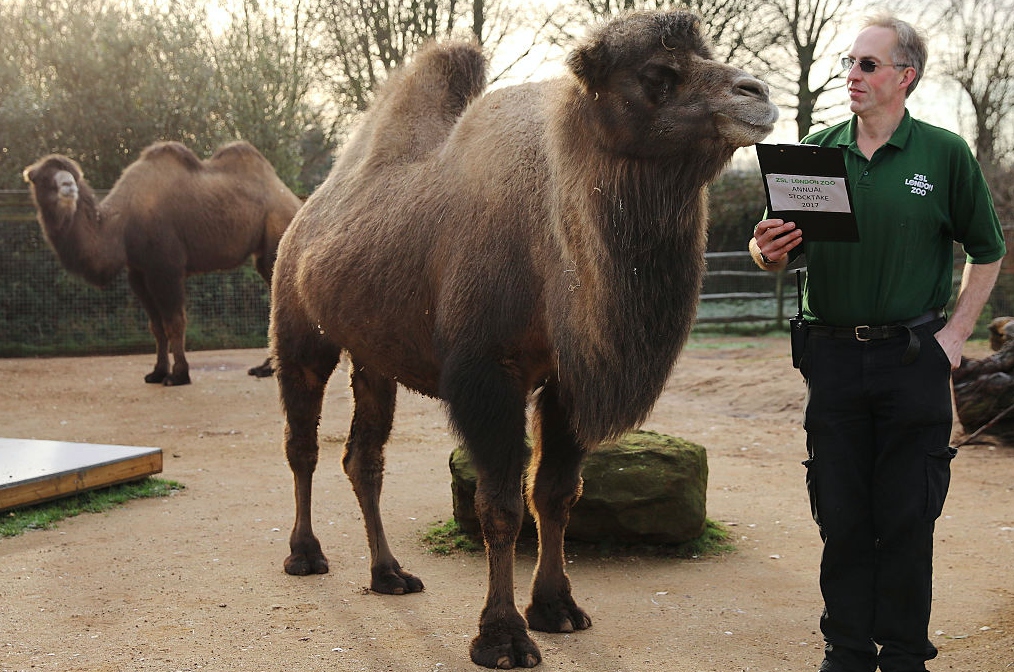 <p>Zoo keeper Mick Tiley stands with a Bactrian Camel as he makes his count. (Pic: Getty) </p>