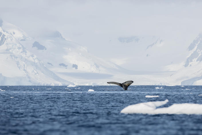 the fluke of a humpback whale at Anvers Island, Antarctica, on Feb. 3, 2020. | Christian Åslund —Greenpeace and TIME