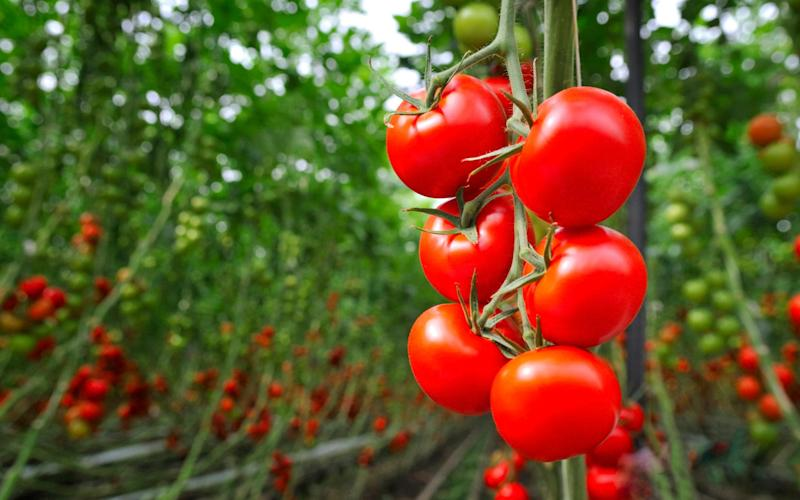 Avoid blackening tomatoes with the help of some garden fleece and a polytunnel - Getty Images