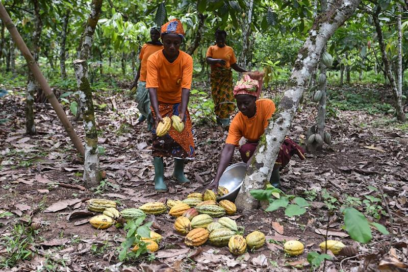 Cacao pods used today to produce chocolate have been gathered by humans for more than 5000 years, scientists say