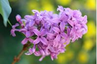 """<p>There are over 1,000 varieties of lilac, but pretty purple is the only one <a href=""""https://statesymbolsusa.org/symbol-official-item/new-hampshire/state-flower/purple-lilac"""" rel=""""nofollow noopener"""" target=""""_blank"""" data-ylk=""""slk:New Hampshirites"""" class=""""link rapid-noclick-resp"""">New Hampshirites</a> found gorgeous enough to represent the state.</p>"""