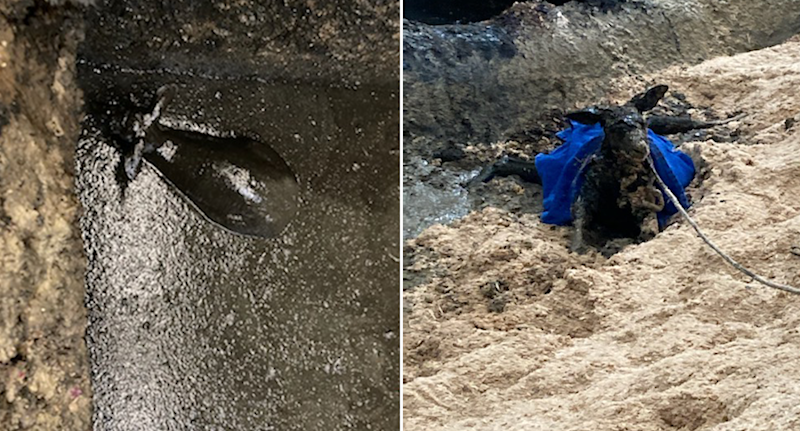 Pictured left is the kangaroo in waste pit from above and on the right is the animal with rope around it being pulled out of waste pit and lying on sawdust.