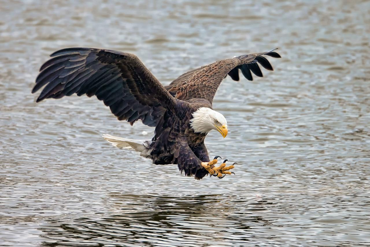 <p>The bald eagle <i>(Haliaeetus leucocephalus), </i>with its white head, dark brown body, and curved, bright yellow bill, has long been a symbol of the United States. These birds are enormous; they are some of the largest birds on the continent, and they like to live in coastal climates near oceans, lakes, and rivers.</p>