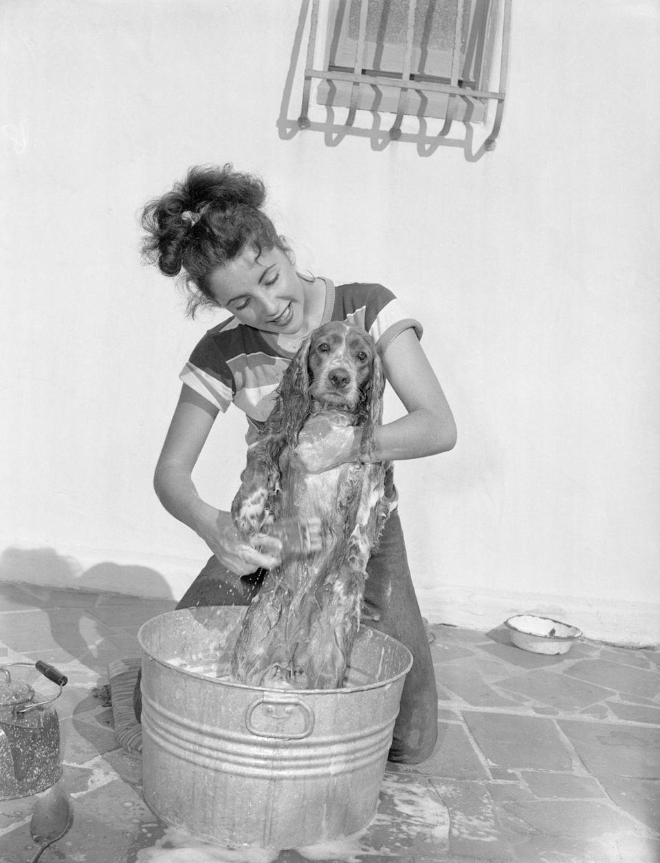 <p>The MGM Studios star gives her Cocker Spaniel, Amy, a bath on the patio of her Hollywood home. </p>