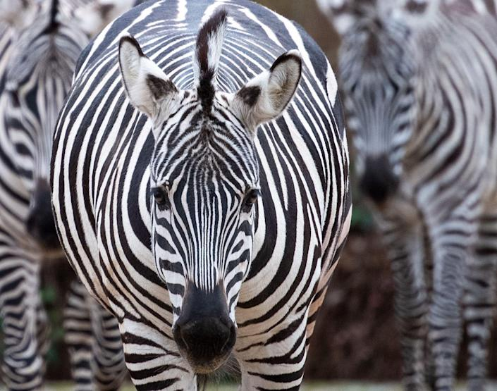 """A man has shot and killed his pet zebra after it escaped from his ranch in Callahan, a town in Florida.The animal, reportedly named Shadow, broke free from Cottonwood Ranch and ran down a main road, chased by several vehicles.Witnesses said the zebra was eventually cornered in a cul-de-sac around two miles from the ranch, where the owner shot and killed it.Bill Leeper, the local sheriff, said he understood that Shadow was injured during the escape and that the owner chose to euthanise the zebra while police officers were at the scene.Witnesses told WJXT-TV that the animal did not appear injured but the decision was made to kill it so that it could not hurt anyone.""""I had to stop and think a minute,"""" Jenee Watkins told the news outlet.""""It's not every day you see a zebra trotting through your neighbourhood.""""Officials have confirmed that the owner did not have a valid license to keep a zebra on his ranch.A state permit is required to own and keep a zebra in Florida.It is unclear whether he will face charges over the lack of permit.Officials said the investigation into the animal's escape and death was ongoing."""