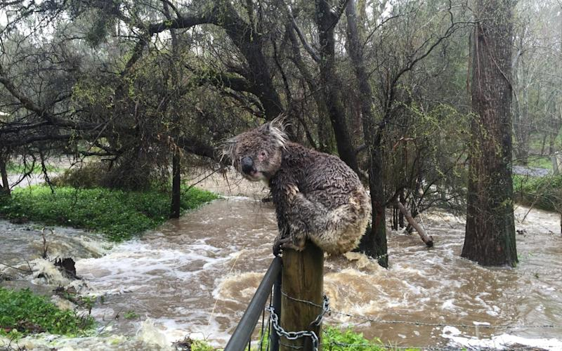 A koala soaked by rushing flood water below in Stirling, in the Adelaide Hills in South Australia - Reuters