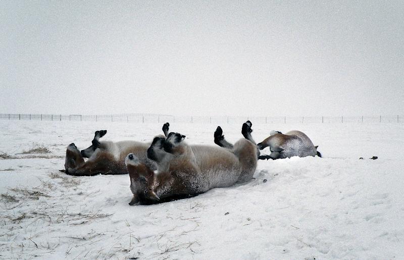 Six Przewalski horses born at a reserve in the south of France are now spending their first winter in Russia's flagship reintroduction project for the species (AFP Photo/Tatjana Zharkikh)