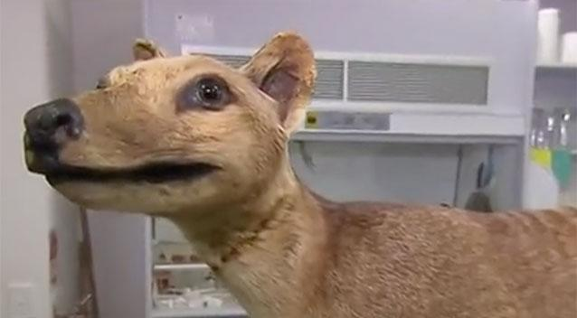 New DNA technology could potentially bring back the Tasmanian Tiger. Source: Sunrise