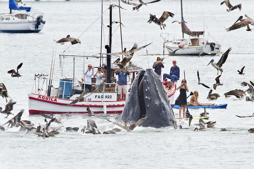 Una ballena jorobada causa conmoción al aparecer en aguas cercanas a la costa de California. .Photo  © 2012 ExclusivePix/The Grosby Group