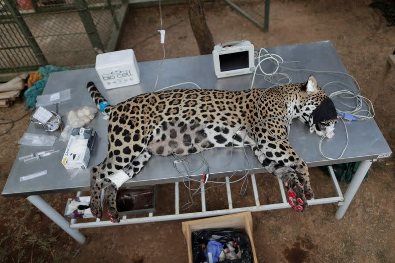 Jaguar burned by wildfires in Brazil is helped back to health