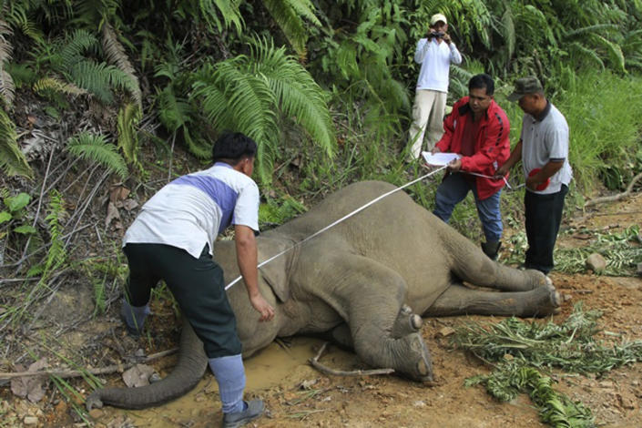 In this Wednesday, Jan. 23, 2013 photo released by Sabah Wildlife Department, Malaysian wildlife officials investigate the death of an elephant at the Gunung Rara Forest Reserve in Sabah, Malaysia. Ten endangered Borneo pygmy elephants have been found dead in the Malaysian forest under mysterious circumstances, and wildlife authorities suspect that they were poisoned. (AP Photo/Sabah Wildlife Department) NO SALES, EDITORIAL USE ONLY