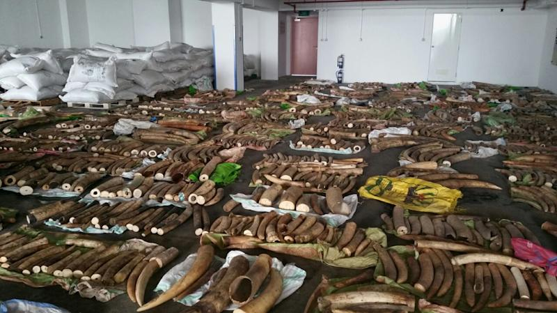 Ivory tusks, rhinoceros horns and canine teeth from big cats seized by Singapore authorities are put on display in this photo by Agri-Food and Veterinary Authority of Singapore