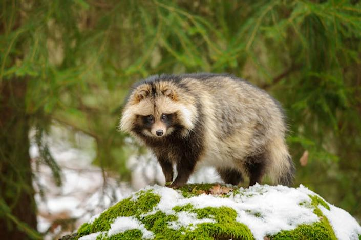 "<span class=""caption"">Raccoon dogs might have spread SARS.</span> <span class=""attribution""><a class=""link rapid-noclick-resp"" href=""https://www.shutterstock.com/image-photo/raccoon-dog-walking-winter-forest-262155056"" rel=""nofollow noopener"" target=""_blank"" data-ylk=""slk:Stanislav Duben/Shutterstock"">Stanislav Duben/Shutterstock</a></span>"