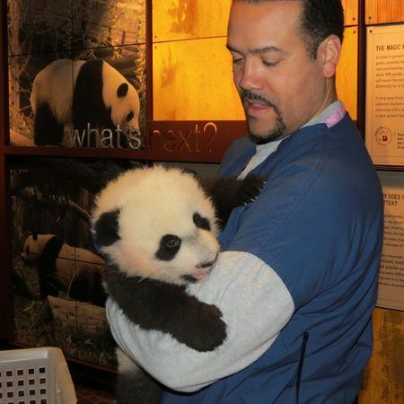 Panda keeper Juan Rodriguez prepares to weigh three-month-old giant panda cub Bei Bei at the Smithsonian's National Zoo in Washington