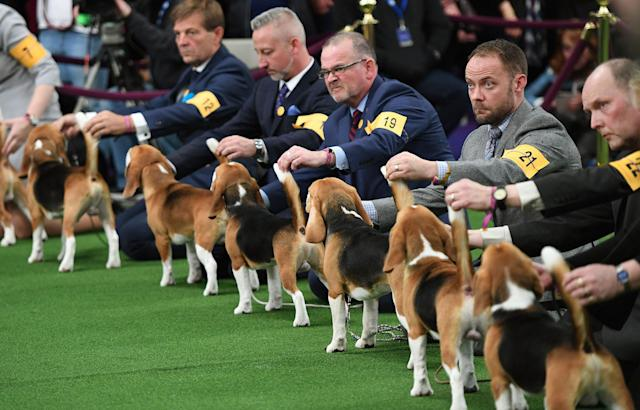 <p>Beagles lineup in the judging area during Day One of competition at the Westminster Kennel Club 142nd Annual Dog Show in New York on Feb. 12, 2018. (Photo: Timothy A. Clary/AFP/Getty Images) </p>