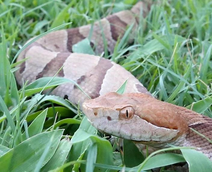 A copperhead in the grass at Hayden Cavender 's shop in the Little River community on Monday, July 18, 2016. Cavender of The Snake Chaser said copperheads are usually the snakes that bite dogs in the area.