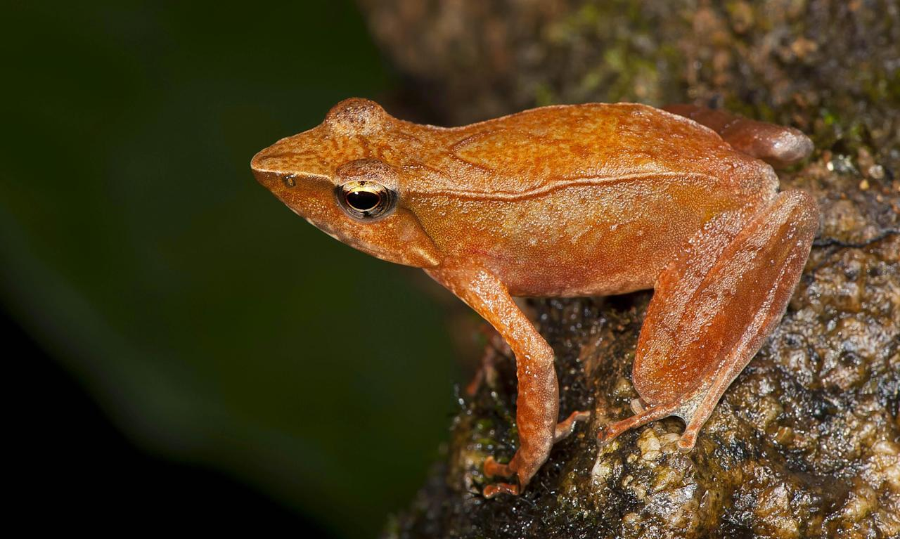 This undated photograph shows one of the 14 new species of so-called dancing frogs discovered by a team headed by University of Delhi professor Sathyabhama Das Biju in the jungle mountains of southern India. The study listing the new species brings the number of known Indian dancing frogs to 24 and attempts the first near-complete taxonomic sampling of the single-genus family found exclusively in southern India's lush mountain range called the Western Ghats, which stretches 1,600 kilometers (990 miles) from the west state of Maharashtra down to the country's southern tip. (AP Photo/Satyabhama Das Biju)