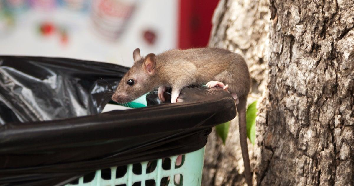 CDC Tells Us to Watch Out For Angry Rats. No, Really.