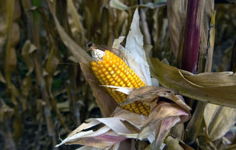 Maize has occupied a prominent place in the Mexican diet since pre-Hispanic times