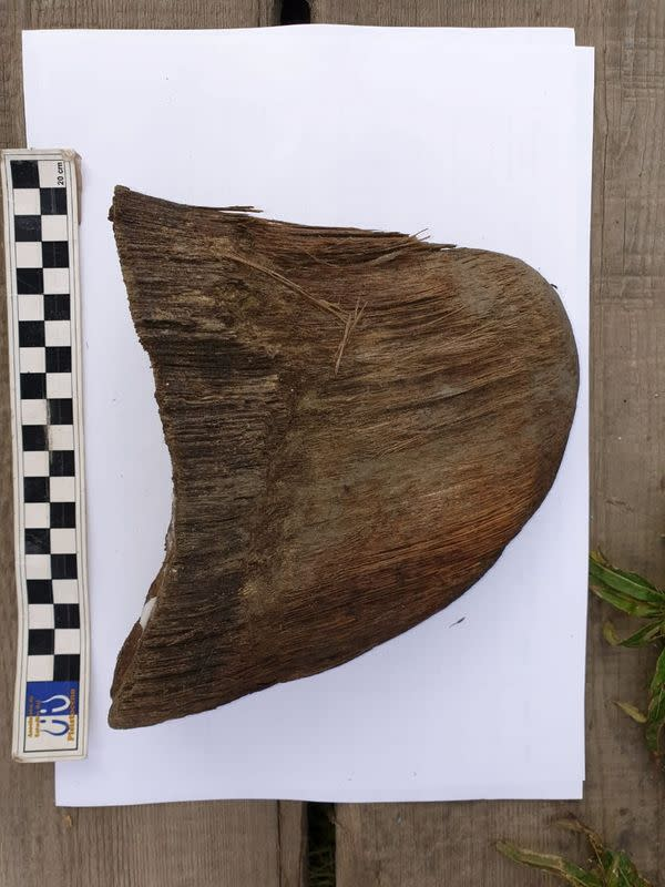 A horn of a juvenile woolly rhinoceros, the carcass of which was found in permafrost in Yakutia, is seen in this handout photo