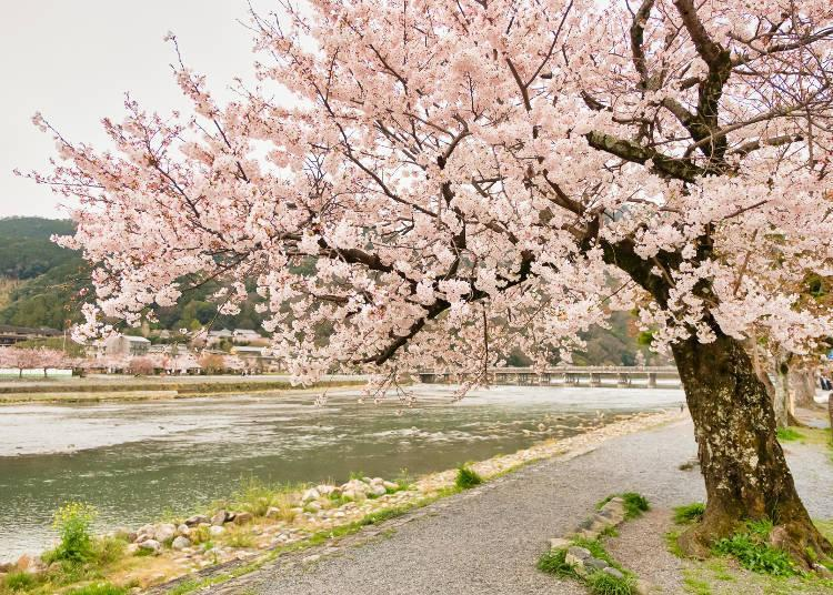 Part of Arashiyama's charm is that you can enjoy cherry blossoms everywhere along the river