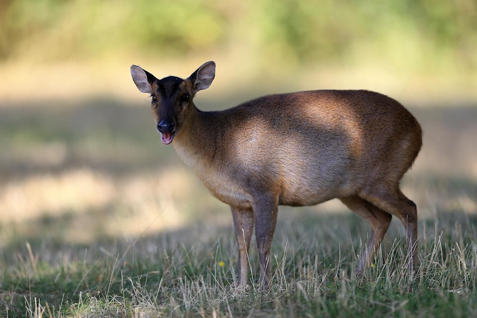 THETFORD, ENGLAND - JUNE 28:  A Muntjac Deer on the course during the The Lombard Trophy East Qualifing event at Thetford Golf Club on June 28, 2018 in Thetford, England. (Photo by Stephen Pond/Getty Images)