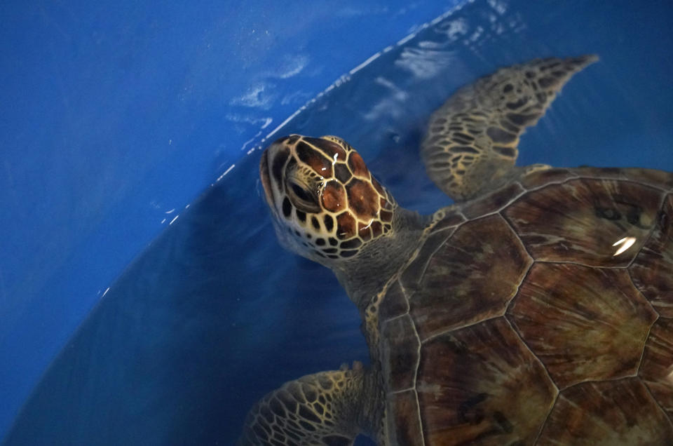 A green sea turtle is shown during its final swim test at Texas A&M Galveston's Gulf Center for Sea Turtle Research Monday, Feb. 22, 2021, in Galveston, Texas. The center has been rehabilitating turtles that were stunned by the cold weather. Twenty-five were released back into the Gulf on Monday. (Melissa Phillip/Houston Chronicle via AP)