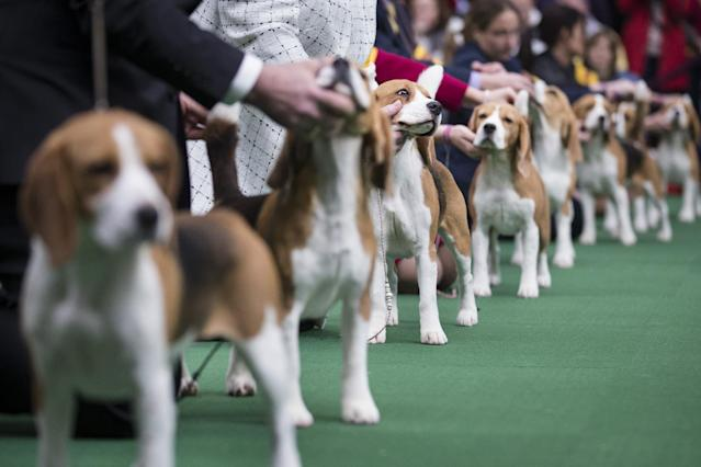 Beagles line up in the competition ring during the Westminster Kennel Club dog show, Monday, Feb. 10, 2014, in New York. (AP Photo/John Minchillo)
