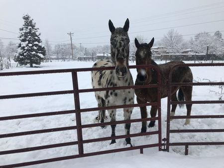Horses stand over a major winter storm which dropped around 8 inches of snow in Taos, New Mexico, U.S., January 11, 2019. REUTERS/Andrew Hay