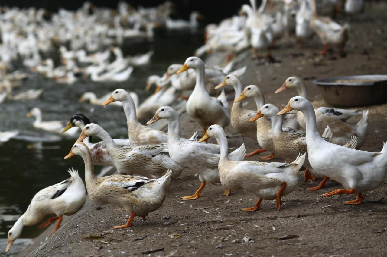 In this photo taken Tuesday, Feb. 14, 2012, ducks walk near an area where a suspected outbreak of the H5N1 bird flu virus among ducks was reported in Nhat Tan commune, Kim Bang district, Ha Nam province, Vietnam. Recent human deaths in Asia and Egypt are a reminder that the deadly H5N1 virus is still alive and dangerous. Vietnam is also grappling with a new strain that has outsmarted vaccines long used to help protect its poultry flocks. The H5N1 virus has killed 345 people worldwide since 2003, when it rampaged across large swaths of Asia decimating poultry stocks before later surfacing in parts of Africa, the Middle East and Europe. (AP Photo/Na Son Nguyen)