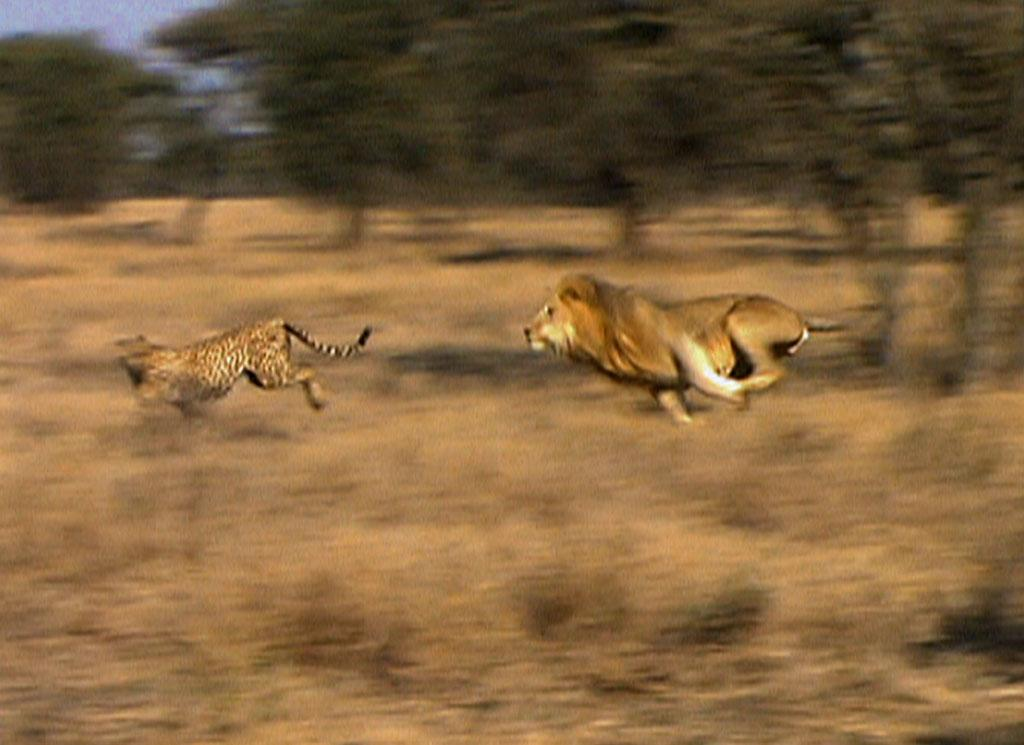 An adult male lion charges after a cheetah during the bizarre confrontation that wildlife filmmaker Leo Kuenkel witnessed.