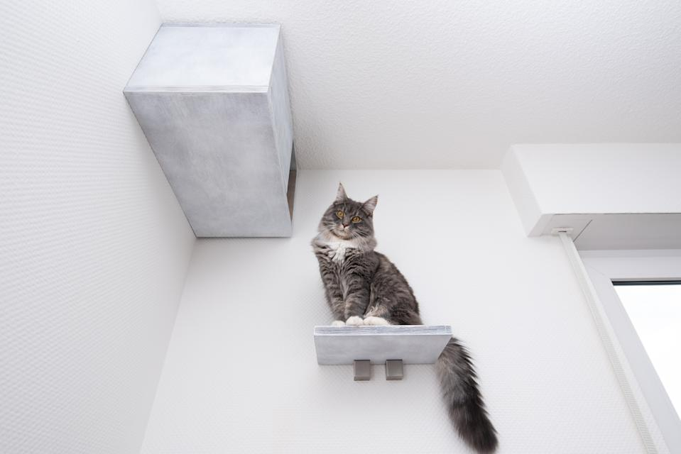 low angle view of a young blue tabby maine coon cat sitting on shelf board of a cat furniture pet cave attached to white wall looking down at camera