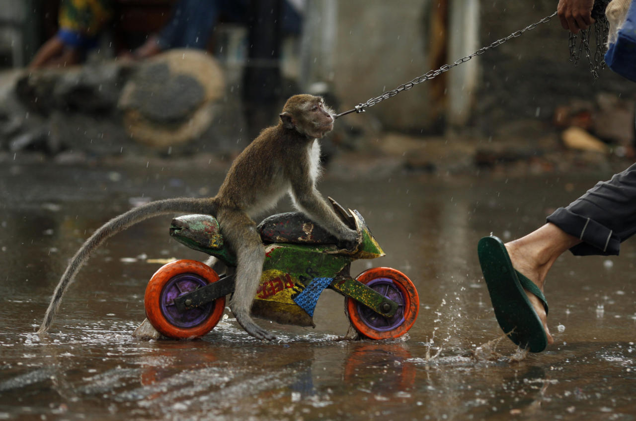 A street performer drags a monkey riding a toy motorcycle as it rains in Jakarta April 21, 2009. REUTERS/Beawiharta (INDONESIA SOCIETY ANIMALS ENVIRONMENT IMAGE OF THE DAY TOP PICTURE)