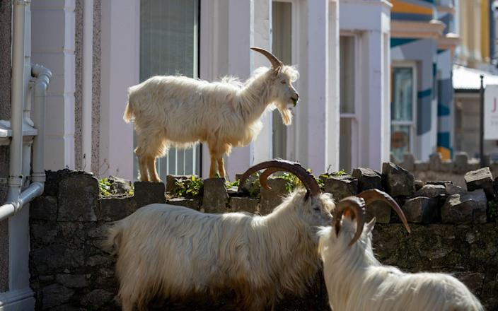 Goats such as these could be a valuable tool in preventing wildfires, a town in Oregon believes  - PA