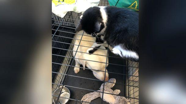 PHOTO: DOG loves to pull at the pup's tails and bat at their noses, said Klein. (Support Dogs Inc.)