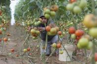 A Palestinian farmer picks tomatoes to be exported into Israel, on a farm in Deir El-Balah in the central Gaza Strip March 11, 2015. REUTERS/Ibraheem Abu Mustafa