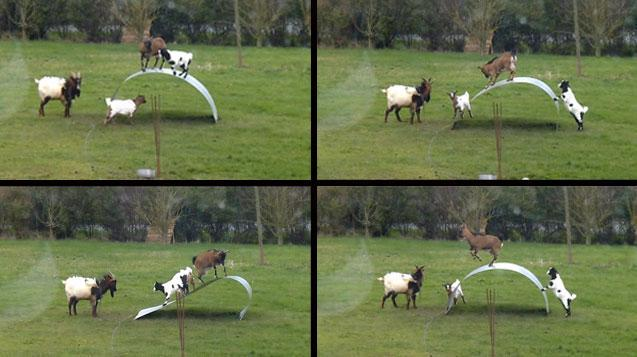 Have these goats invented a captivating new sport?