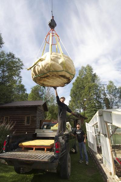 In this Monday, Aug. 26, 2013, photo Ryan K. Hall, left, guides a giant pumpkin into the bed of a pickup truck in the Halbouty area of Nikiski, Alaska. J.D. Megchelsen holds the record for giant pumpkins in Alaska, and knew he had a candidate this year to beat the record of 1,287 pounds set in 2011_But when a boom truck gently lifted the behemoth on Monday with rigging and a sling, the big pumpkin revealed a big disappointment: a thumb-size hole that will make it ineligible for the competition at the Alaska State Fair in Palmer. (AP Photo/Peninsula Clarion, Greg Skinner)