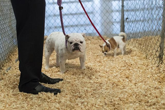 <p>Tickles, left, a bulldog and Lear, a short haired Chihuahua, use the dog relief area during the 141st Westminster Kennel Club Dog Show, Monday, Feb. 13, 2017, in New York. (AP Photo/Mary Altaffer) </p>