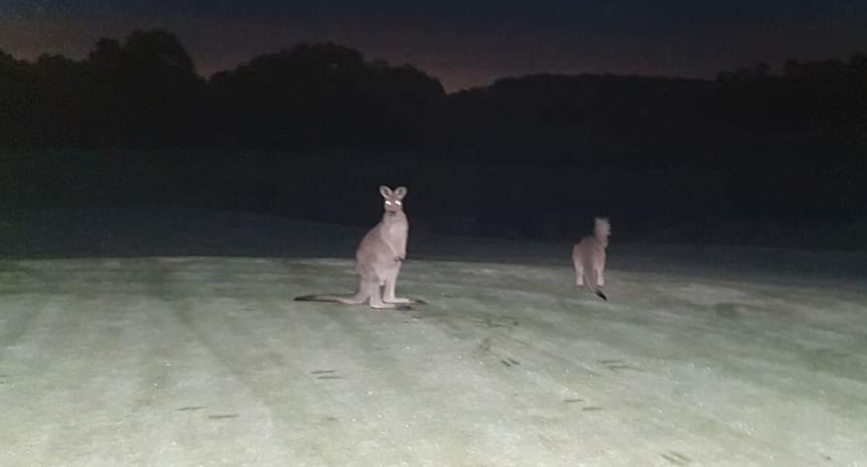 An image taken of the golf course at night showing two kangaroos in the spotlight.